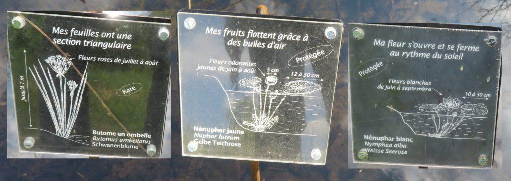 Les plantes rares ou protégées, butomus umbellatus, nuphar_luteum, nuphar_alba